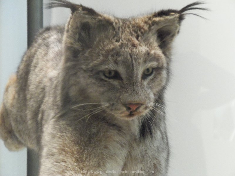 Lynx At Smithsonian